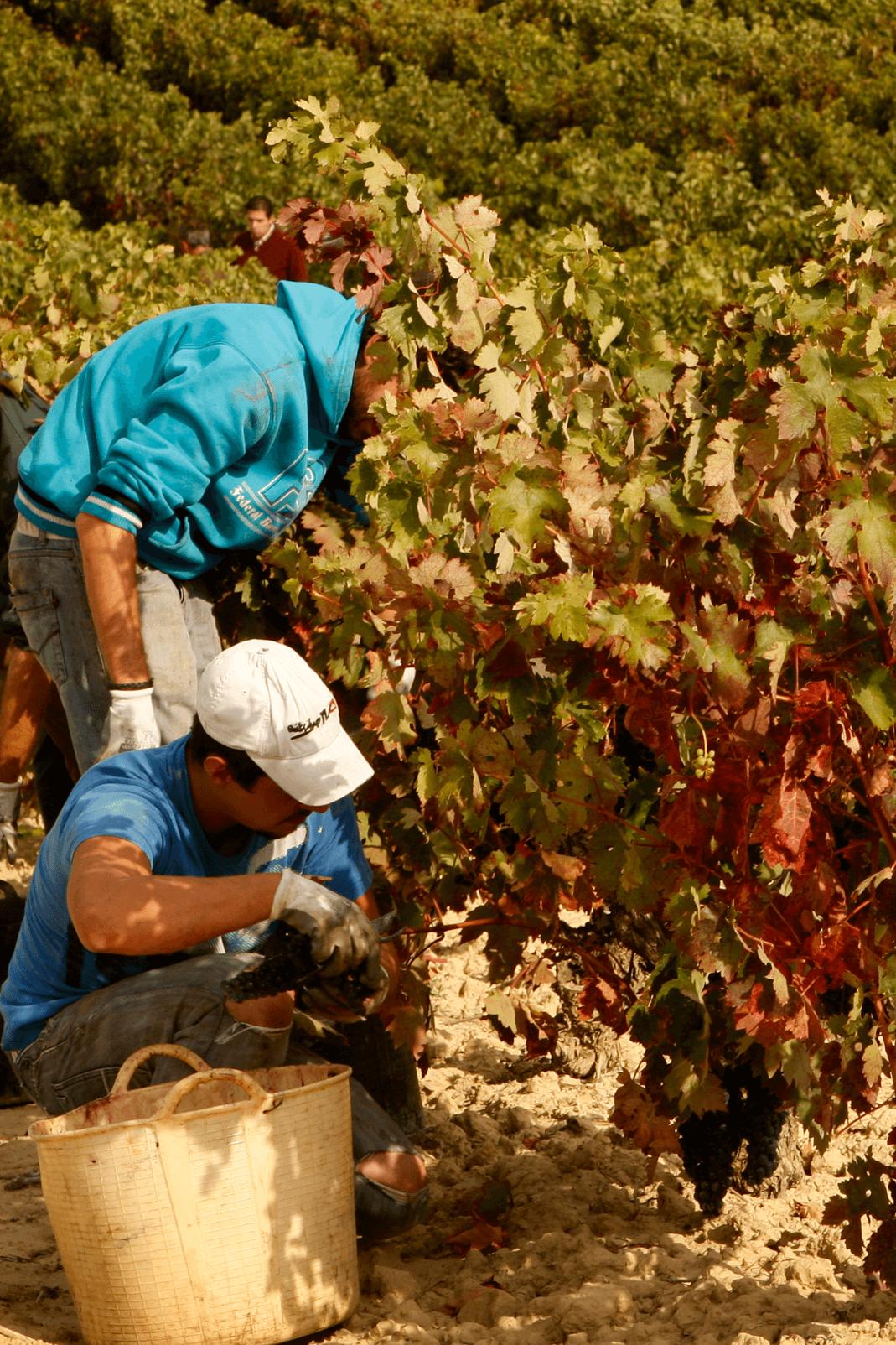 bodegas taron vinos la rioja vendimia vertical